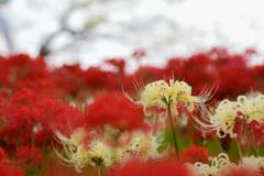 Lycoris albifora