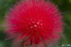 アフロの花