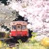桜咲き誇る風の中
