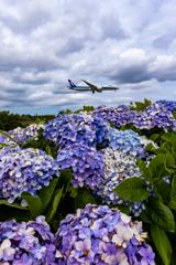 紫陽花と梅雨空