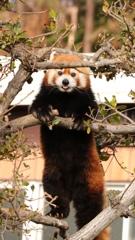 和歌山のレッサーパンダ-2