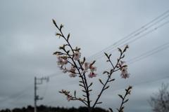 若い河津桜