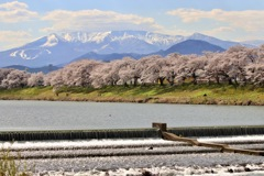 蔵王と桜と白石川と