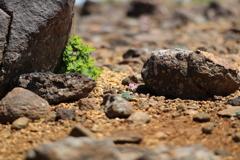 岩カゲの駒草
