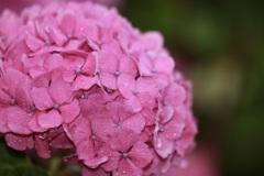 夜明けの紫陽花