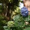 夏と紫陽花