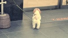 飼い主を待つシーズー犬