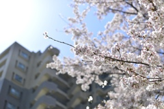 春の風物詩は今年もかわらず満開に!