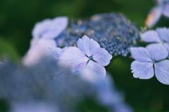 今年の紫陽花は、、、