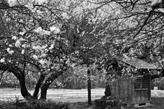 記憶の中の梅花