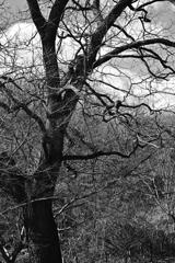 巨木の憂鬱