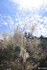 秋のススキと空