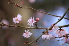 春が来ます・・桜