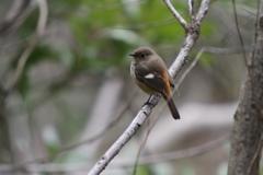 公園の野鳥、ジュウビタキ。