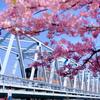 河津桜と電車