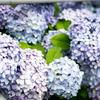 紫陽花たくさん