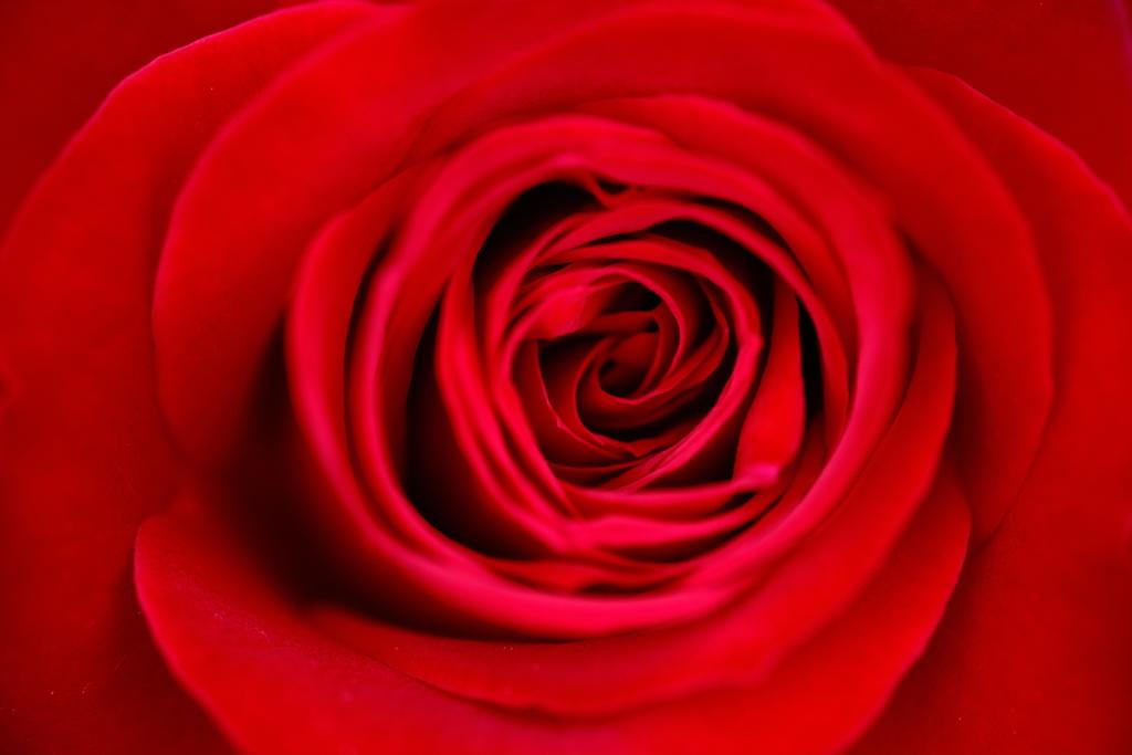 赤薔薇の渦 by noripin (ID:8708953) - 写真共有サイト:PHOTOHITO