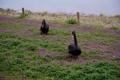芝桜と黒鳥