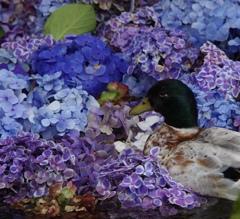 鴨オン・ザ紫陽花