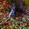 雪と紅葉のカーペット
