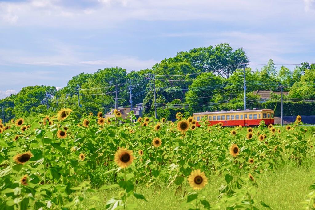 西広のひまわり畑と小湊鉄道