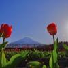 山中湖花の都公園のチューリップ