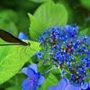 イトトンボと紫陽花