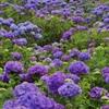 モリモリ紫陽花