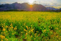 下田の菜の花