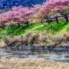 桜吹雪 河津桜まつりにて