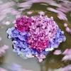 紫陽花流転
