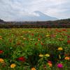 百日草と富士