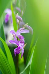 今年も庭に咲く紫蘭