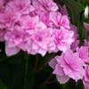 庭の姫紫陽花Ⅱ