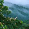 明けぬ梅雨・合歓の木と丘陵の川霧
