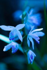 月下美人に憧れる紫蘭たち