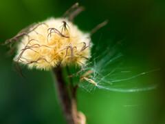 飛び立てクレマチスの種子たち