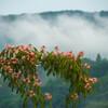 霧漂う丘陵・斜陽に染まる合歓Ⅱ