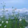 秩父山地にかかる雲・加治丘陵を覆う霞・そして秋桜の朝
