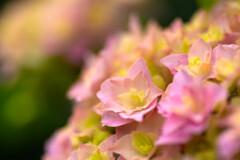 母の日にもらった姫紫陽花