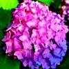 夕日に照らされる紫陽花