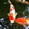 天授庵の鯉