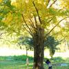 大きなイチョウの木の下で