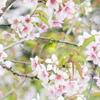 冬桜とメジロ