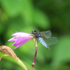 オオシオカラトンボとシランの花