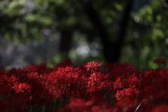 木漏れ日の彼岸花
