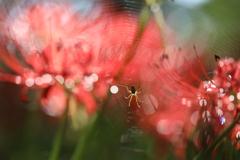 彼岸花と蜘蛛