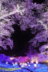 夜桜とイルミネーション
