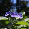 木漏れ日の紫陽花