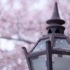 大正浪漫桜